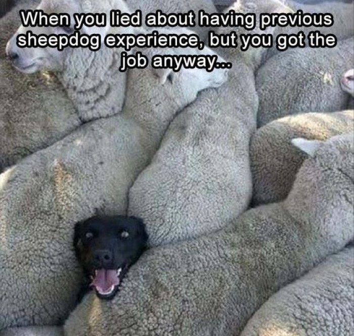 When You Lied About Your Sheepdog Experience