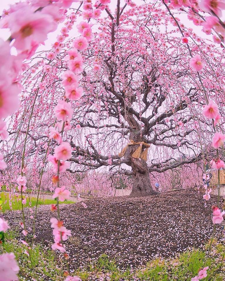 200 years old blossoming Ume plum tree at Suzuka Forest Garden, Japan