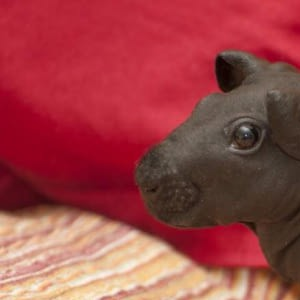 Hairless guinea pigs exist, and they look like miniature hippos