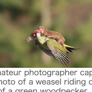 Weasel Riding A Woodpecker